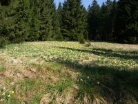 narzissenwiesen